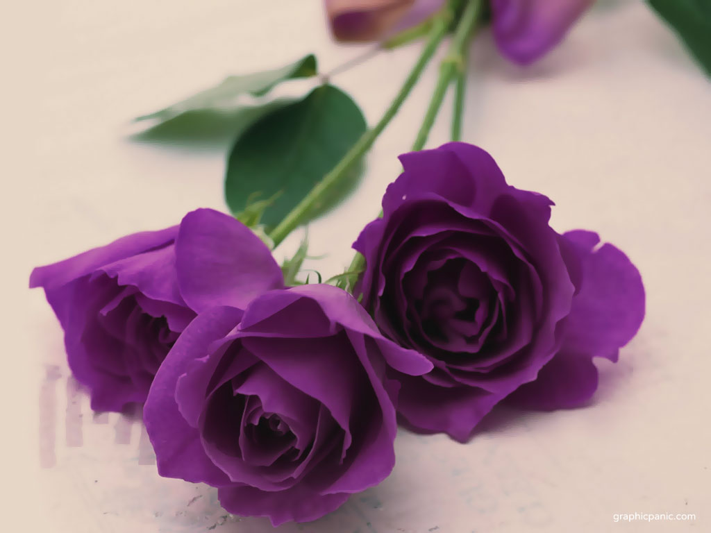 Magnificent-Purple-Roses-roses-34611043-1024-768.jpg